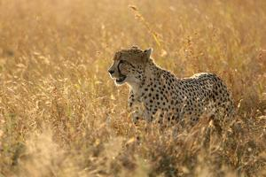 Cheetah ( Acinonyx jubatus ) in savanna, Lower Sabie, Kruger National Park, South Africa, Africa by Godong