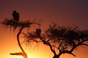 Griffon vulture (Gyps fulvus) in a tree at sunrise, Masai Mara Game Reserve, Kenya, East Africa, Af by Godong