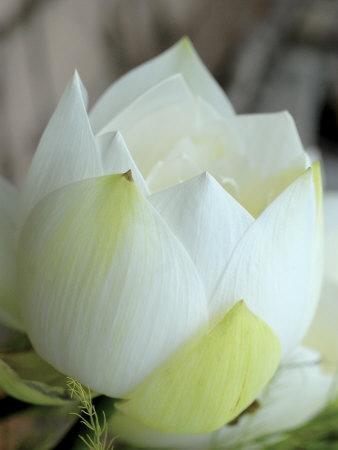 Lotus Flower, Hanoi, Vietnam, Indochina, Southeast Asia, Asia