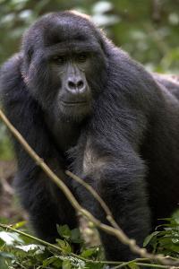 Mountain gorilla, (Gorilla beringei beringei), Bwindi Impenetrable National Park, Uganda, Africa by Godong