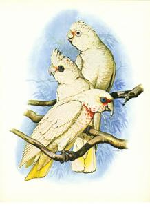 Goffin's Cockatoo no. 121