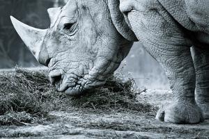 White Rhino In Black And White Eating by goinyk