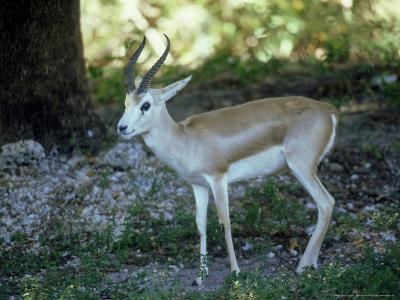 Goitered Gazelle, Male, Zoo Animal-Stan Osolinski-Photographic Print