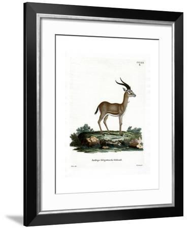 Goitered Gazelle--Framed Giclee Print