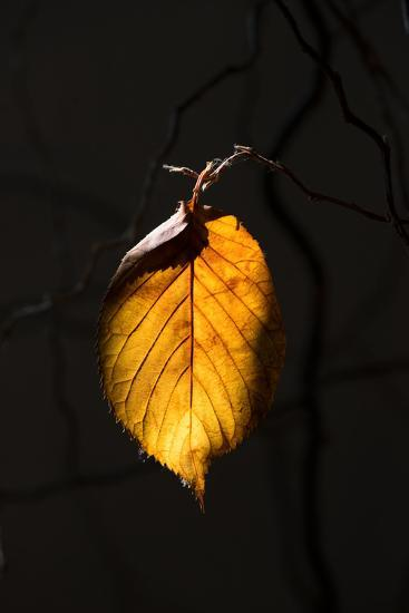 Gold Leaf-Philippe Sainte-Laudy-Photographic Print