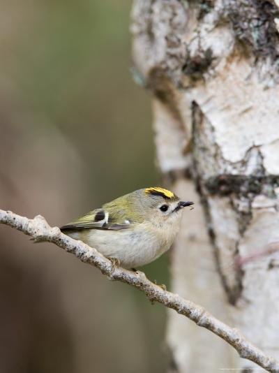 Goldcrest, Perched on Birch Branch with Fly in Bill, Lancashire, UK-Elliot Neep-Photographic Print