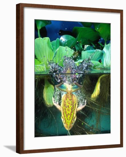 Golden Bell Frog Diving, Native to Australia-David Northcott-Framed Photographic Print