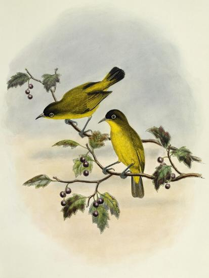 Golden-Bellied White-Eye (Zosterops Uropygialis)--Giclee Print