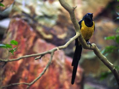 Golden-Breasted Starling, Cosmopsarus Regius, Perched on a Tree Branch-Raul Touzon-Photographic Print