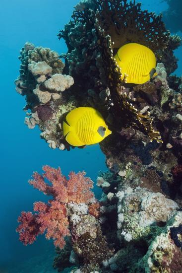 Golden Butterflyfish-Georgette Douwma-Photographic Print
