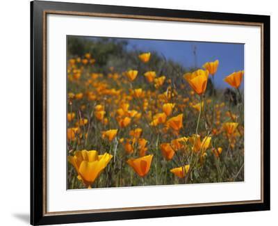 Golden California Poppies, Santa Cruz Coast, California, USA-Tom Norring-Framed Photographic Print
