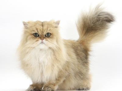 Golden Chinchilla Persian Female Cat, 6 Years-Mark Taylor-Photographic Print