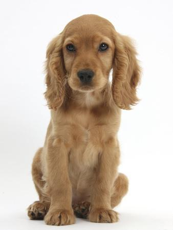 Golden Cocker Spaniel Puppy, Maizy, Sitting-Mark Taylor-Photographic Print