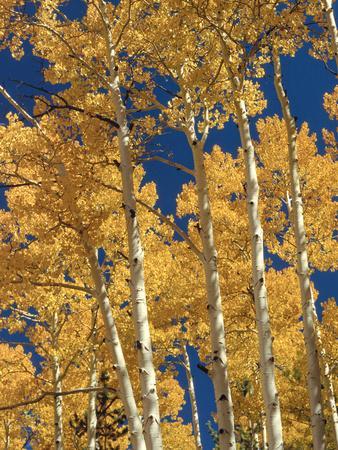 https://imgc.artprintimages.com/img/print/golden-colored-aspen-trees-coconino-national-forest-arizona_u-l-pypcaw0.jpg?p=0