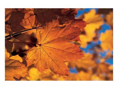 Golden Coloured Maple Leaf--Art Print