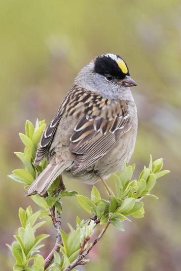 Golden-crowned sparrow-Ken Archer-Premium Photographic Print