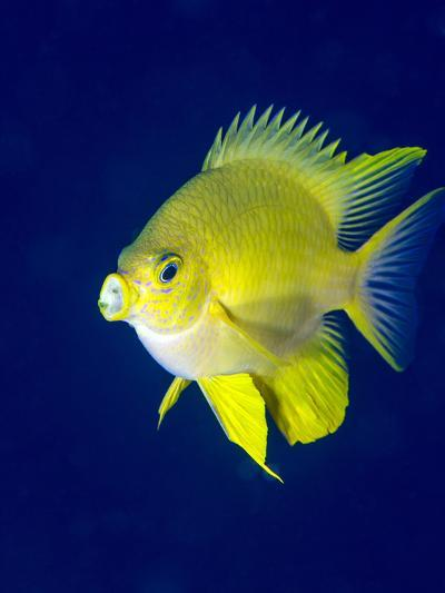 Golden Damselfish (Amblyglyphidodon Aureus) a Zoo Plankton Feeding Coral Reef Fish-Louise Murray-Photographic Print