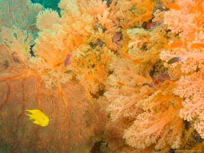 Golden Dream Reef, Bligh Water Area, Viti Levu, Fiji Islands, South Pacific-Stuart Westmoreland-Photographic Print