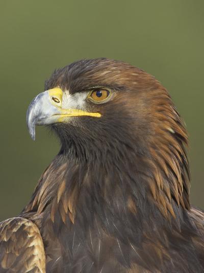 Golden Eagle (Aquila Chrysaetos) Adult Portrait, Cairngorms National Park, Scotland, UK-Pete Cairns-Photographic Print
