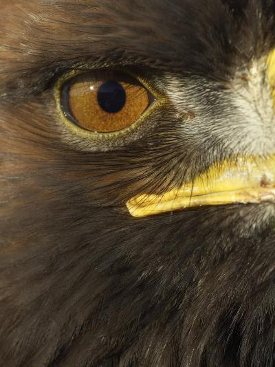 Golden Eagle (Aquila Chrysaetos) Close up of Eye, Cairngorms National Park, Scotland, UK-Pete Cairns-Photographic Print