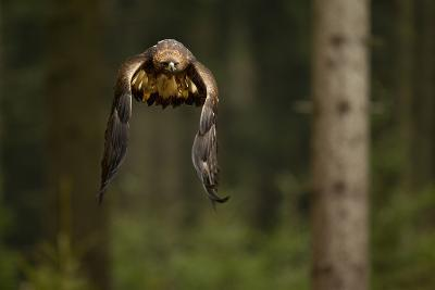 Golden Eagle (Aquila Chrysaetos) Flying Through Forest, Czech Republic, November. Captive-Ben Hall-Photographic Print