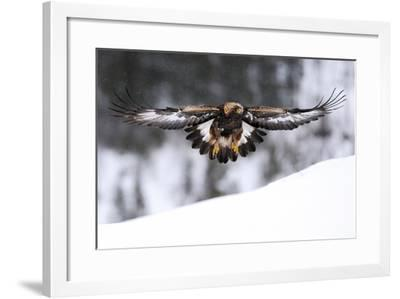 Golden Eagle (Aquila Chrysaetos) in Flight over Snow, Flatanger, Norway, November 2008-Widstrand-Framed Photographic Print