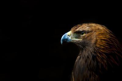 Golden Eagle (Aquila Chrysaetos) Portrait, Captive, Occurs In The Northern Hemisphere-Edwin Giesbers-Photographic Print