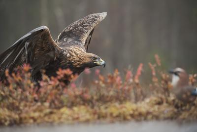 https://imgc.artprintimages.com/img/print/golden-eagle-aquila-chrysaetos-sweden-scandinavia-europe_u-l-q1brktt0.jpg?artPerspective=n