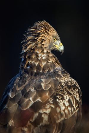 https://imgc.artprintimages.com/img/print/golden-eagle-aquila-chrysaetos-sweden-scandinavia-europe_u-l-q1brmxa0.jpg?artPerspective=n