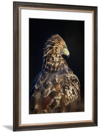 Golden eagle (Aquila chrysaetos), Sweden, Scandinavia, Europe-Janette Hill-Framed Photographic Print