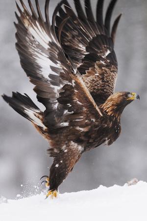 https://imgc.artprintimages.com/img/print/golden-eagle-aquila-chrysaetos-taking-off-flatanger-norway-november-2008_u-l-q10ofys0.jpg?p=0