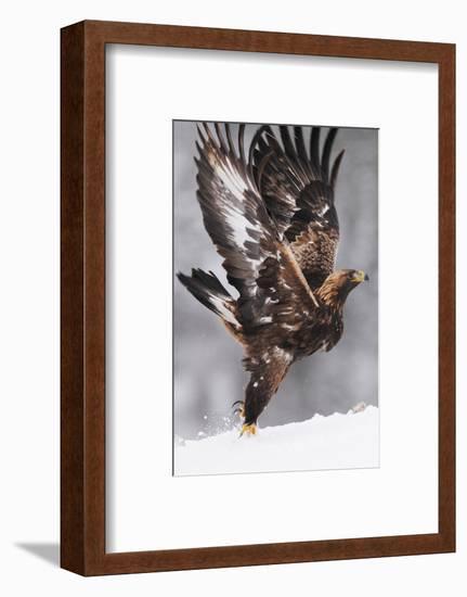 Golden Eagle (Aquila Chrysaetos) Taking Off, Flatanger, Norway, November 2008-Widstrand-Framed Photographic Print