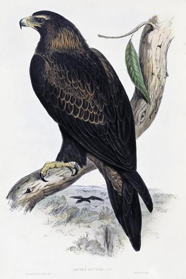 Golden Eagle (Aquila Chrysaetos)-John Gould-Giclee Print