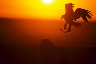 Golden Eagle At Dawn-outdoorsman-Photographic Print