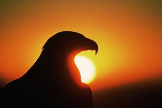 Golden Eagle at Sunrise-W^ Perry Conway-Photographic Print