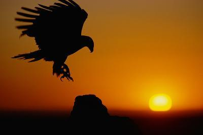 Golden Eagle at Sunset-W^ Perry Conway-Photographic Print