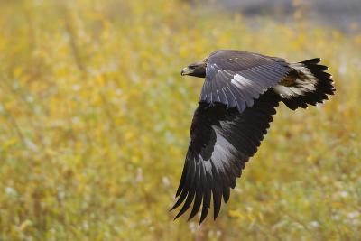 Golden Eagle, Autumn Flight-Ken Archer-Photographic Print