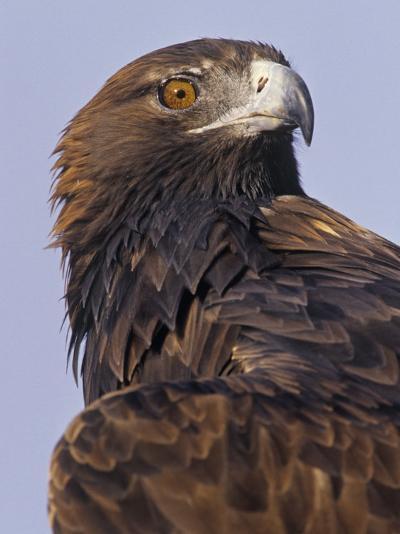 Golden Eagle Head Showing its Eye and Bill, Aquila Chrysaetos, North America-Jack Michanowski-Photographic Print