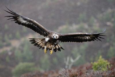 Golden Eagle in Flight--Photographic Print