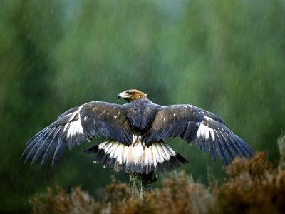 Golden Eagle, Male Perched, Highlands, Scotland-Mark Hamblin-Photographic Print