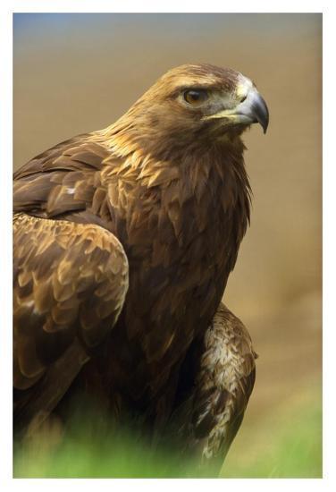 Golden Eagle portrait, North America-Tim Fitzharris-Art Print