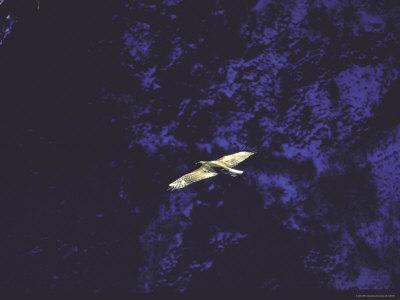 Golden Eagle Soaring Across Blue Sky in Idaho Primitive Area-John Dominis-Framed Photographic Print