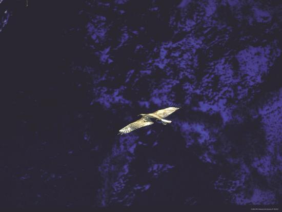 Golden Eagle Soaring Across Blue Sky in Idaho Primitive Area-John Dominis-Photographic Print