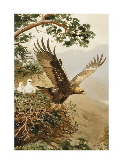 Golden Eagle with Young, Aviemore-John Cyril Harrison-Giclee Print