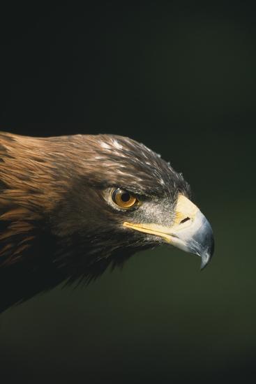 Golden Eagle-DLILLC-Photographic Print