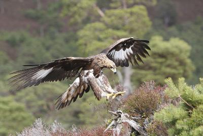 Golden Eagle--Photographic Print
