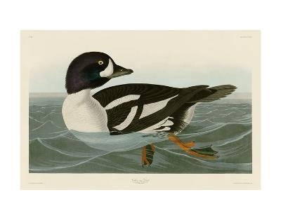 Golden-eye Duck-John James Audubon-Art Print