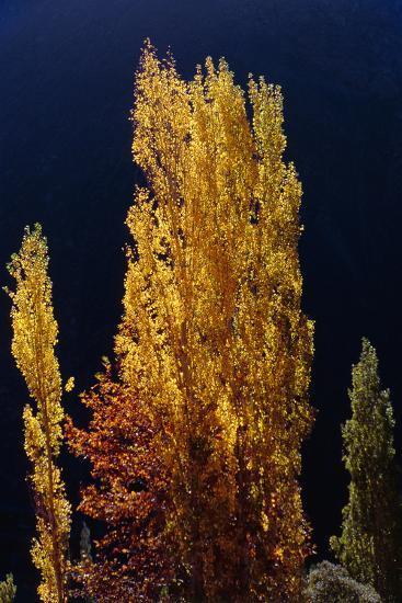 Golden Fall Colors of a Poplar Tree in the Alborz Mountains, Iran-Babak Tafreshi-Photographic Print