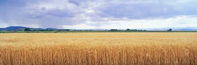 Golden Field under Overcast Sky--Photographic Print