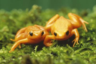 Golden Frogs-DLILLC-Photographic Print